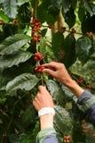 De bonen van de koffie het rijpen Stock Afbeelding