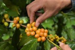 De bonen van de koffie het rijpen Royalty-vrije Stock Foto