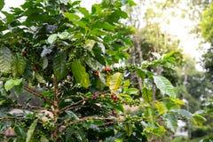 De bonen van de koffie op boom royalty-vrije stock afbeeldingen