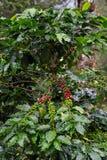 De bonen van de koffie op boom stock afbeeldingen