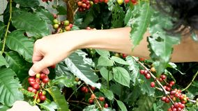 De bonenhanden die van de kersenkoffie, arabica koffiebessen oogsten stock footage