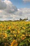 De bonensojabonen van het gebied in de vroege herfst Royalty-vrije Stock Foto's