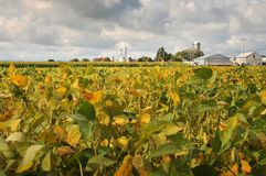 De bonensojabonen van het gebied in de vroege herfst Stock Fotografie