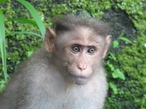 De bonnet macaque monky in actie royalty-vrije stock afbeeldingen