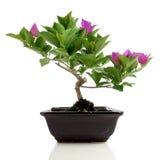 De bonsai van bougainvillea Royalty-vrije Stock Afbeeldingen