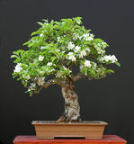 De bonsai van de appel in bloei royalty-vrije stock foto's