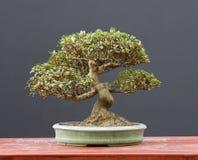 De bonsai van de azalea Stock Fotografie