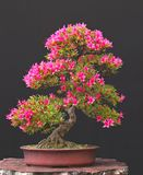 De bonsai van de azalea in bloei Stock Foto