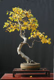 De bonsai van de berk in dalingskleur Royalty-vrije Stock Foto
