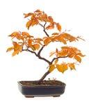 De bonsai van de beuk Stock Fotografie