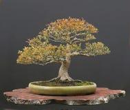 De bonsai van de esdoorn Stock Afbeeldingen