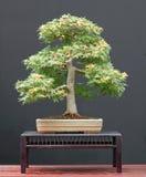De bonsai van de esdoorn in de zomer Stock Foto's