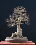 De bonsai van de iep in de winter royalty-vrije stock foto