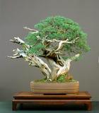 De bonsai van de jeneverbes Stock Afbeeldingen