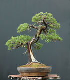 De bonsai van de jeneverbes Stock Foto