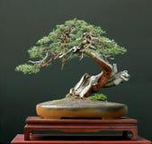 De bonsai van de jeneverbes Royalty-vrije Stock Afbeeldingen