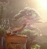 De bonsai van de jeneverbes in ochtenddauw Stock Afbeeldingen