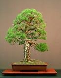 De bonsai van de pijnboom Stock Afbeelding