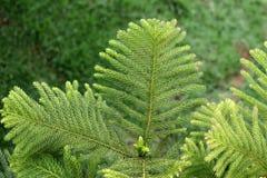 De bonsai van de pijnboom Royalty-vrije Stock Foto