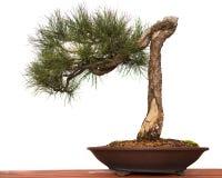 De Bonsai van de pijnboom Royalty-vrije Stock Foto's