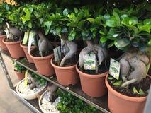 De Bonsai van de ficusginseng stock foto