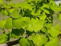 De bonsai van Ginkgobiloba Stock Afbeelding