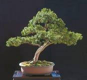 De bonsai van het taxushout Stock Foto's