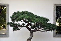 De bonsai van pijnboom Royalty-vrije Stock Foto