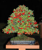De bonsai van Pyracantha met vruchten Stock Fotografie