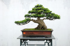 De bonsai van Yaccatree Stock Afbeeldingen