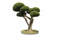 De bonsai vormde decoratieve boom Stock Foto