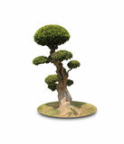 De bonsai vormde decoratieve boom Stock Afbeelding
