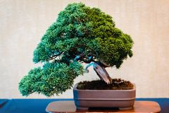 De bonsaiboom bij een bonsai toont in Grand Rapids Michigan royalty-vrije stock afbeelding