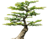 De bonsaiboom isoleerde 1 Stock Afbeelding