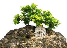 De bonsaiboom isoleerde 1 royalty-vrije stock fotografie