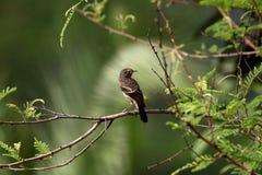 De bonte caprata-jongere van bushchatsaxicola Stock Foto's