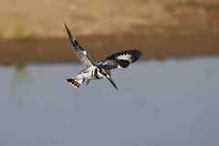De bonte Ijsvogel Jacht Stock Foto's