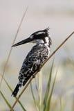 De Bonte Ijsvogel van Pilansberg Stock Fotografie