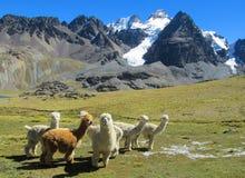 De bontlama's en alpacas op groene weide in de sneeuw van de Andes caped bergen stock afbeeldingen