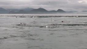 De bontverbinding duikt in draaikolk van water van oceaan op achtergrondkust in Alaska stock video