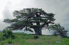 De boom Stock Afbeelding