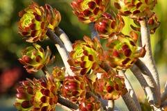 De boom Aeonium Royalty-vrije Stock Afbeeldingen