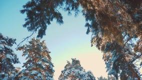 De boom bedekt van de de pijnboomsneeuw van de de winter het blauwe hemel van het de takzonlicht landschap van de de glanswinter  stock videobeelden