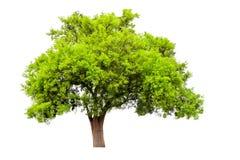 De boom breekt het blad op een witte achtergrond Stock Fotografie