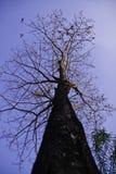 De boom in de blauwe hemel Stock Afbeeldingen