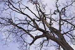 De boom in de blauwe hemel Royalty-vrije Stock Fotografie