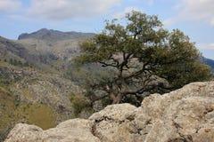 De boom die op een berghelling groeit Majorca, Spanje 27 augustus 2013 Stock Afbeeldingen