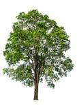 De boom die van de achtergrond met delicateness volledig gescheiden is kan in menig opzicht worden gebruikt heeft a stock foto's