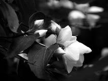 De boom die van de appel in zwart-wit bloeit Stock Afbeelding