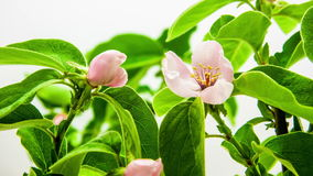 De boom die van de kweepeerbloem timelapse tot bloei komen stock videobeelden